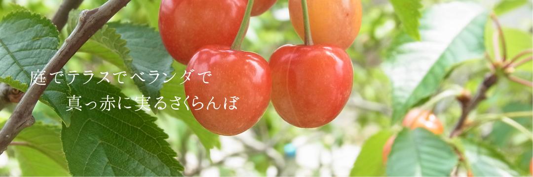 庭でテラスでベランダで真っ赤に実るさくらんぼ